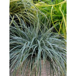 Carex oshimensis Everest -...