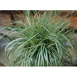 Carex oshimensis Everlite -...
