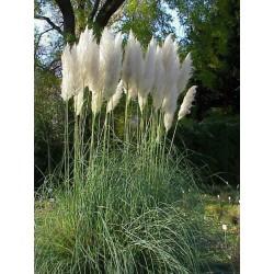 Cortaderia selloana White -...