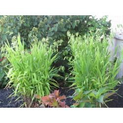Uniola latifolia - ukrasna...