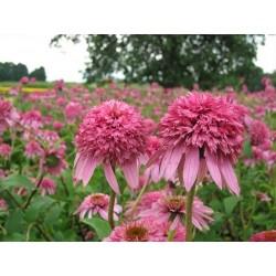 Echinacea Purpurea Pink...